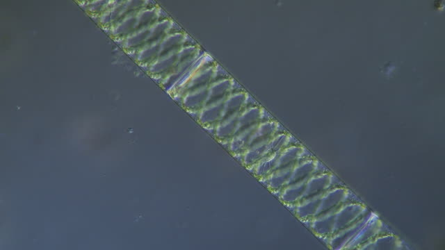 tracking shot along filament of spirogyra, lit with differential interference contrast. - filament stock videos & royalty-free footage