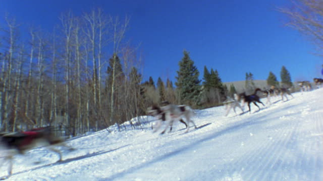 tracking shot canted view of team of dogs pulling man on sled through snow w/trees and blue sky in background / Colorado
