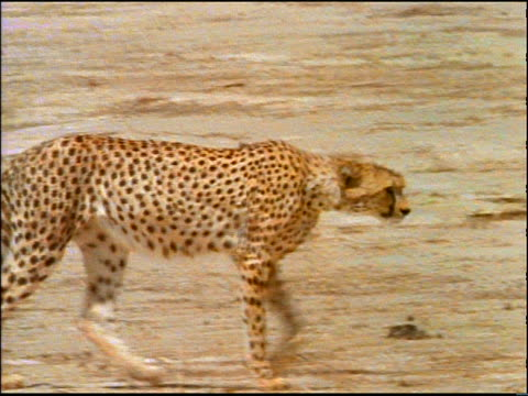 tracking shot cheetah walking on sand + looking at camera / Africa