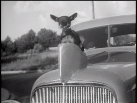 vídeos de stock, filmes e b-roll de b/w 1935 tracking shot chihuahua with eyeglasses riding on moving car as hood ornament / grand rapids, mi - 2016