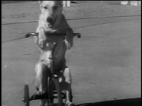 B/W 1936 tracking shot dog pedaling + riding tricycle on sidewalk