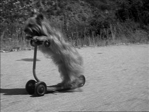 b/w 1952 tracking shot dog riding push scooter on road / documentary - out of context stock videos & royalty-free footage