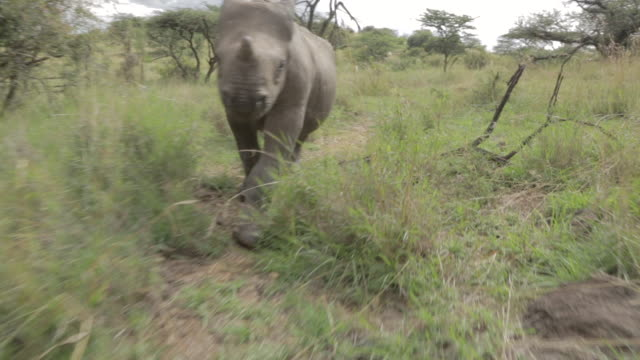 tracking shot following a juvenile black rhinoceros (diceros bicornis) walking through grass at the lewa wildlife conservancy, kenya. - rhinoceros stock videos and b-roll footage