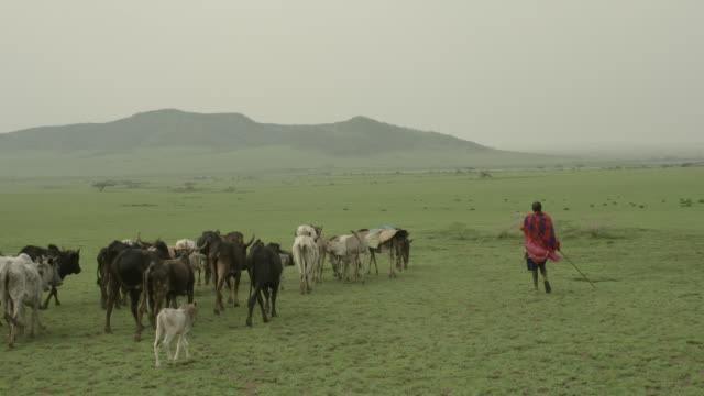 tracking shot following a masai farmer herding cattle. - cattle stock videos & royalty-free footage