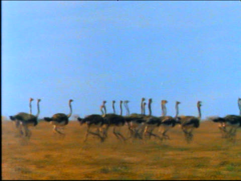 tracking shot group of ostriches running on plain / africa - 動物の集まり点の映像素材/bロール