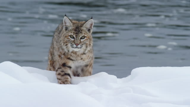 tracking shot of a bobcat walking in the snow - riverbank stock videos & royalty-free footage