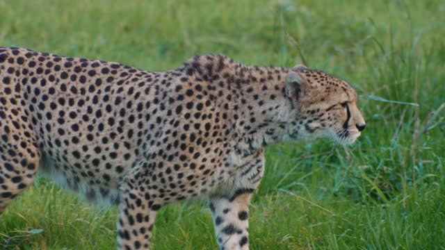 tracking shot of a cheetah prowling through long grass, on march 26, 2021 in somerset, uk. - animals in the wild stock videos & royalty-free footage