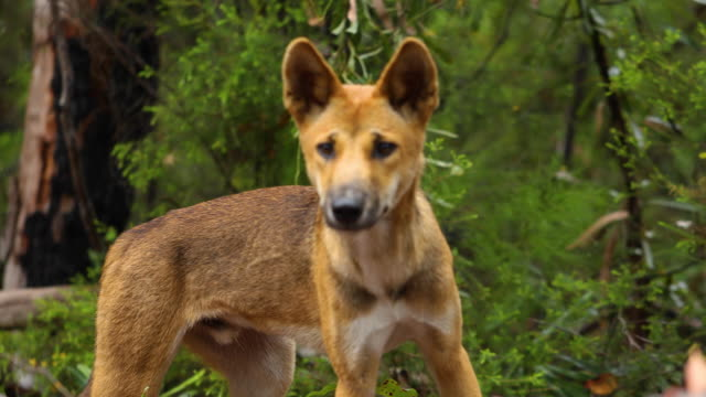 A tracking shot of a dingo in the bush