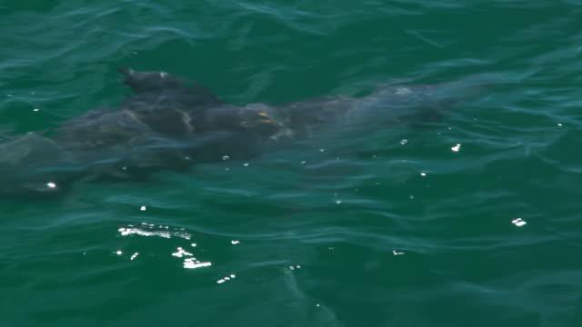 vídeos de stock, filmes e b-roll de tracking shot of a dolphin - roaz