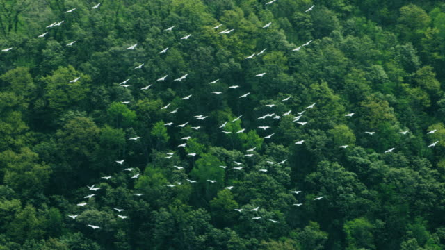 tracking shot of a flock of pelicans flying over the bank of the mississippi river - minnesota stock videos & royalty-free footage