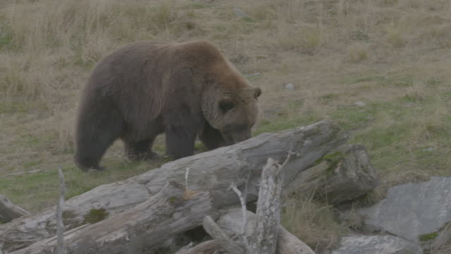 stockvideo's en b-roll-footage met tracking shot of a grizzly bear sniffing in the arctic national wildlife refuge - arctic national wildlife refuge
