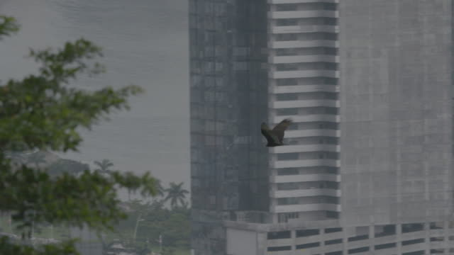 tracking shot of a hawk flying above panama city - rovfågel bildbanksvideor och videomaterial från bakom kulisserna