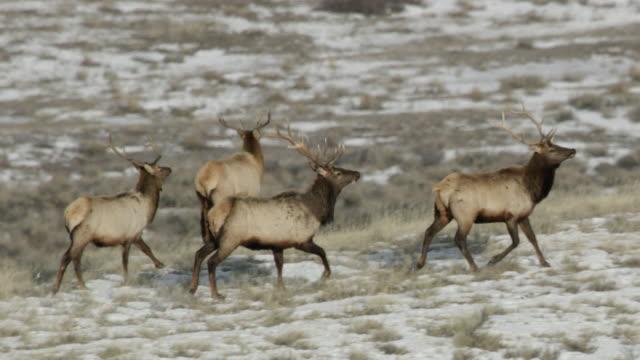 tracking shot of a herd of elk running - antler stock videos & royalty-free footage