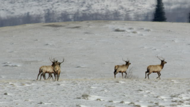 tracking shot of a herd of elk walking in the snowy landscape - wyoming stock videos & royalty-free footage