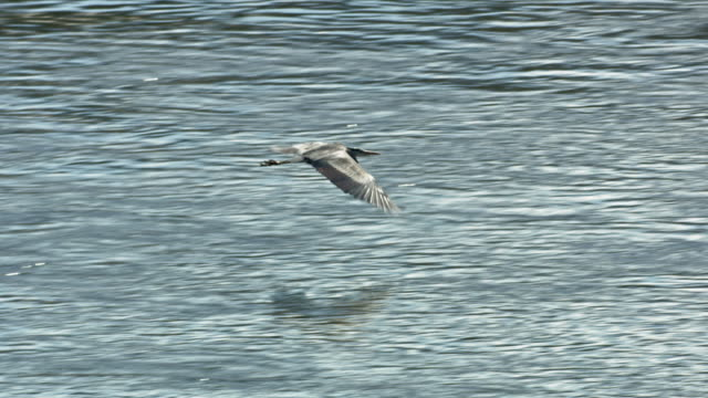 tracking shot of a heron flying over the river - water bird stock videos & royalty-free footage