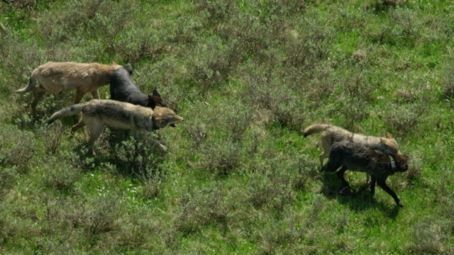 tracking shot of a pack of wolves strolling in the hayden valley - yellowstone national park stock videos & royalty-free footage
