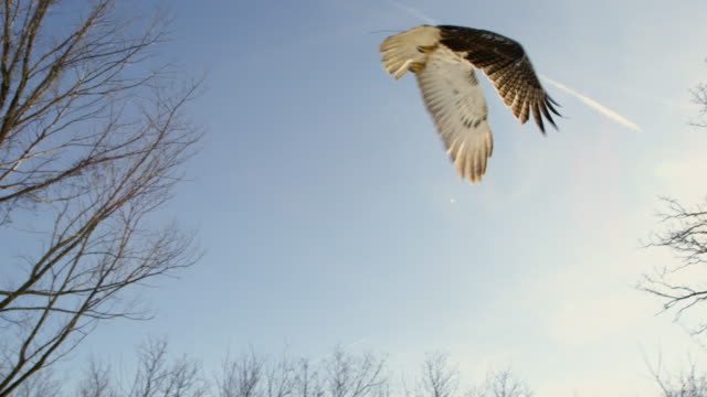 tracking shot of a red-tailed hawk landing on a tree - habicht stock-videos und b-roll-filmmaterial