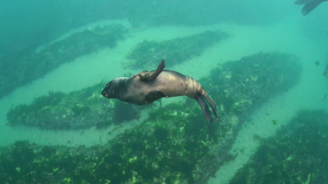 tracking shot of a very young south american sea lion in shallow water, nuevo gulf, valdes peninsula, argentina. - animal colour stock videos & royalty-free footage