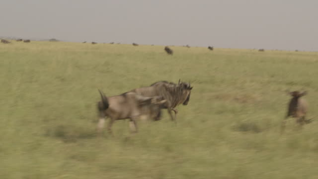 tracking pov shot of an adult wildebeest running alongside a safari vehicle, tanzania. - inquadratura da un'automobile video stock e b–roll