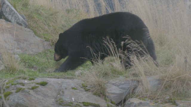 stockvideo's en b-roll-footage met tracking shot of an american black bear walking in the arctic national wildlife refuge - arctic national wildlife refuge