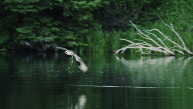 tracking shot of an osprey catching a fish and flying away - ミサゴ点の映像素材/bロール