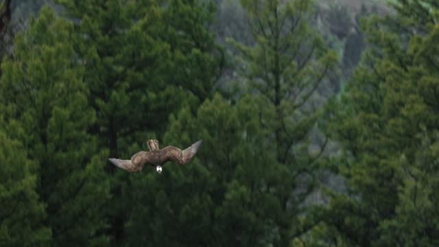 tracking shot of an osprey diving - ミサゴ点の映像素材/bロール
