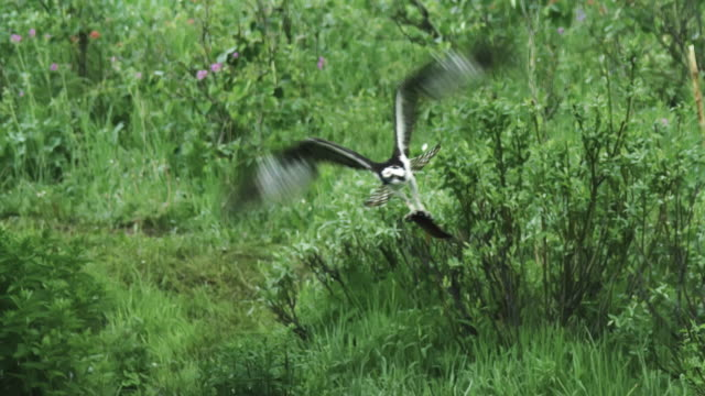 tracking shot of an osprey flying away with a fish - rovfågel bildbanksvideor och videomaterial från bakom kulisserna