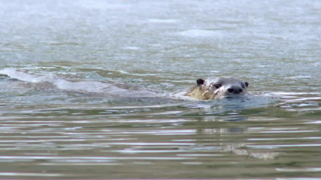 vídeos y material grabado en eventos de stock de tracking shot of an otter swimming - nutria de río
