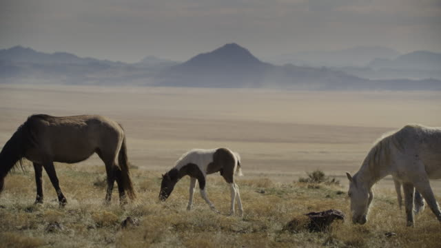 vídeos de stock e filmes b-roll de tracking shot of colt walking and grazing in field near mountain range / dugway, utah, united states - cinco animais