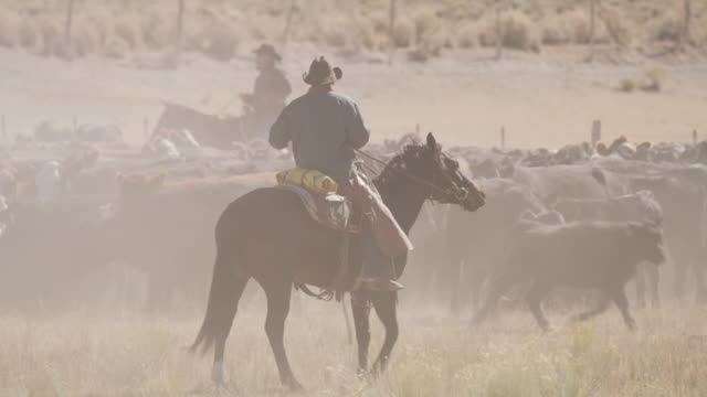 stockvideo's en b-roll-footage met tracking shot of cowboy herding cattle on ranch / fish lake, utah, united states - cowboyhoed