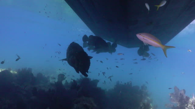 tracking shot of goliath grouper underneath boat at looe key coral reef in the florida keys national marine sanctuary. - ゴーゴニアンコーラル点の映像素材/bロール