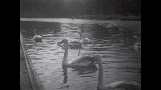 tracking shot of group of swans swimming in the river from the river bank - aquatic organism stock videos & royalty-free footage