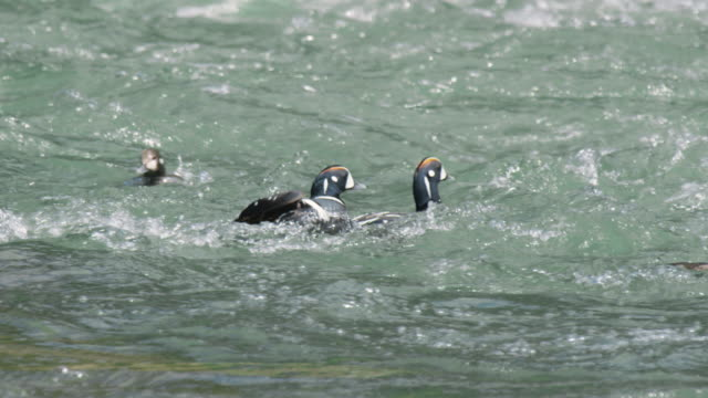 tracking shot of harlequin ducks floating on river - river yellowstone stock videos & royalty-free footage