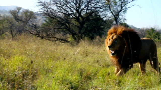 tracking shot of lion running towards camera/ south africa - male animal stock videos & royalty-free footage