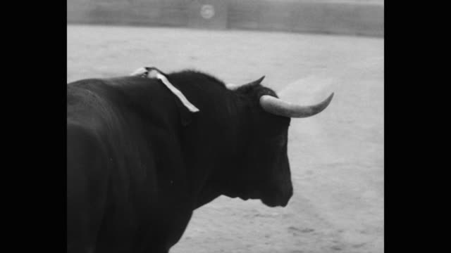 1951 tracking shot of matador fighting with bull in bullring - bull animal stock videos & royalty-free footage