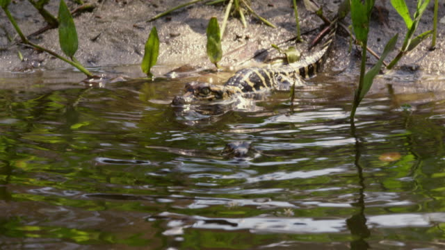 tracking shot of newborn american alligator babies crawling into the water - reed grass family stock videos & royalty-free footage