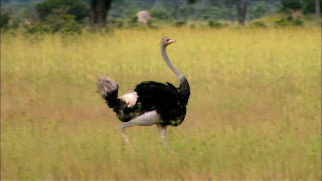 vidéos et rushes de tracking shot of ostrich running past flock in savannah - groupe moyen d'animaux