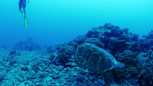 tracking shot of sea turtle swimming in ocean near scuba diver / moorea, french polynesia - insel moorea stock-videos und b-roll-filmmaterial