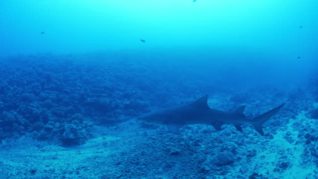 stockvideo's en b-roll-footage met tracking shot of shark swimming in ocean in tahiti / moorea, french polynesia - tahiti
