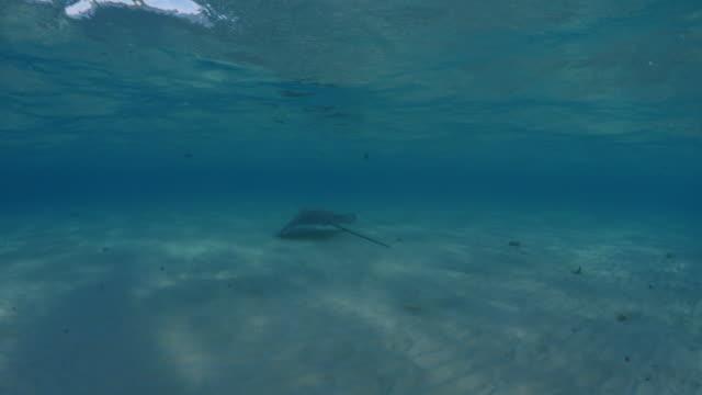 tracking shot of stingray swimming in ocean in tahiti / bora bora, french polynesia - bora bora stock videos and b-roll footage
