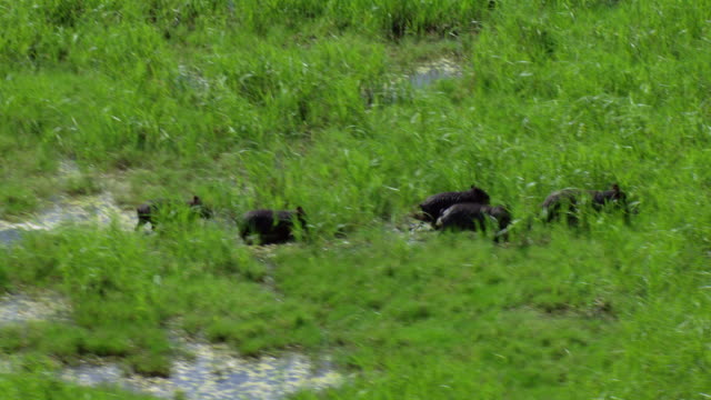 tracking shot of wild boar running in san bernard national wildlife refuge, texas, united states of america. - animals in the wild stock videos & royalty-free footage