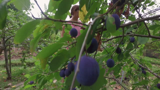 tracking shot of woman picking and eating plums in allotment. - plum stock videos & royalty-free footage