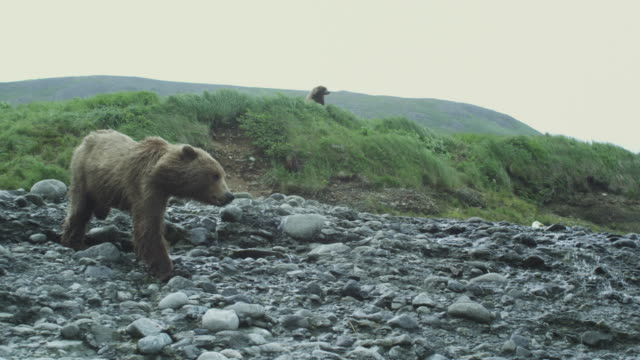 vidéos et rushes de tracking shot of young bear walking downstream, mcneil river game range, alaska, 2011 - ours brun