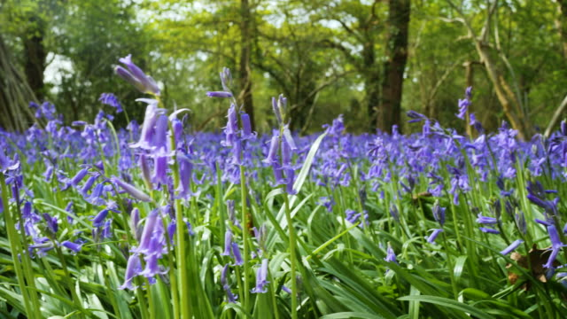 tracking shot over and through bluebells in flower - national park stock videos & royalty-free footage
