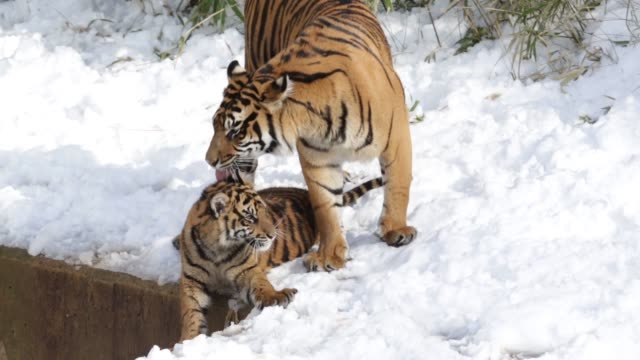 tracking shot, sumatran tiger dumai plays with her one of her two six-month-old cubs in their enclosure, one day after a snow storm has hit the area.... - enclosure stock videos & royalty-free footage