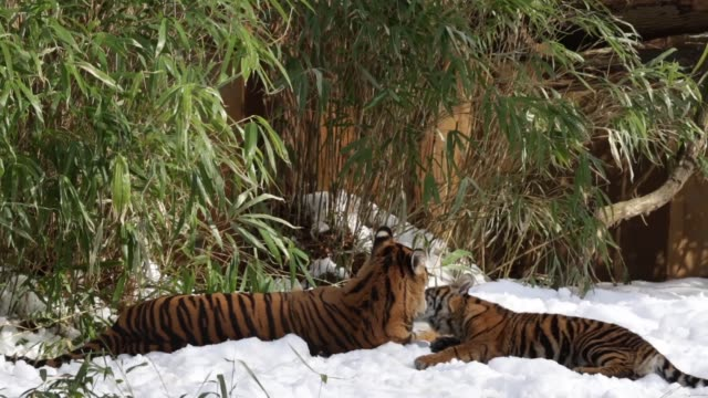 Tracking Shot sumatran tiger Dumai plays with her two sixmonthold cubs Sukacita and Bandar in their enclosure one day after a snow storm has hit the...