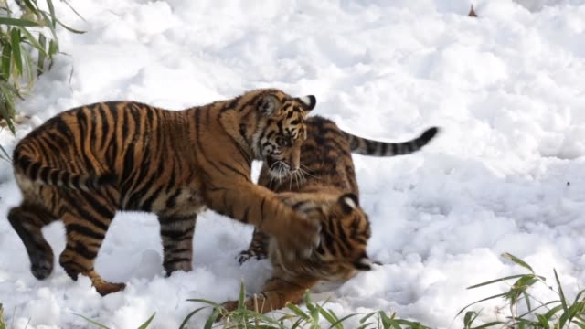Tracking Shot the sixmonthold Sumatran tiger cubs Sukacita and Bandar play in their enclosure one day after a snow storm has hit the area The two...