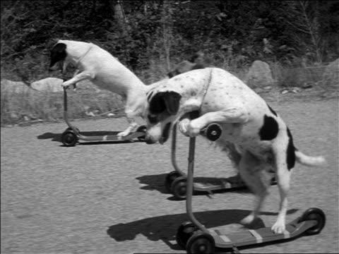 vídeos y material grabado en eventos de stock de b/w 1952 tracking shot three dogs riding push scooters on road / one dog wipes out / documentary - 1952