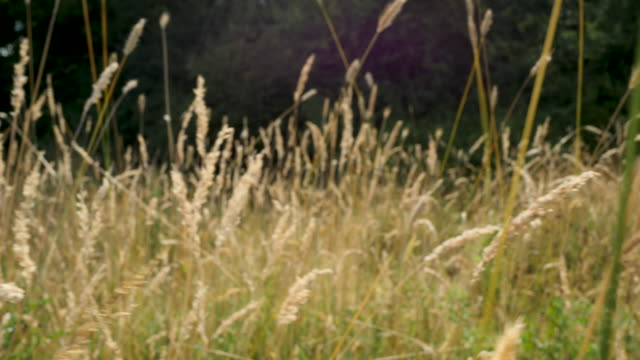 tracking shot through tall grasses in meadow with lens flare - field stock videos & royalty-free footage