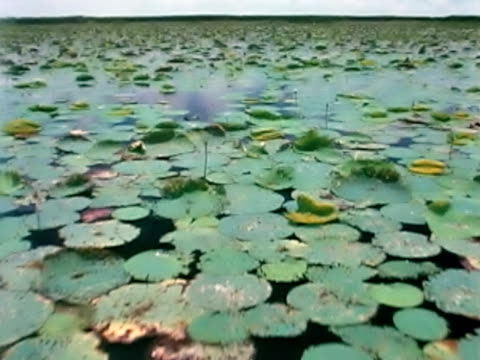 stockvideo's en b-roll-footage met tracking shot through water lilies - waterplant